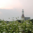 Picture - Lighthouse as the sunrises with flowers in the foreground, Montauk. .