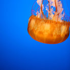 Picture - Jellyfish appear bright orange under blacklights at the Monterey Aquarium.