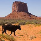 Picture - Free range cattle In Monument Valley Navajo Tribal Park.