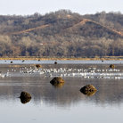 Picture - Snow geese at Squaw Creek National Wildlife Refuge.