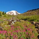 Picture - Mount Baker behind a field of wildflowers.