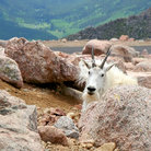 Picture - A sheep on the summit of Mount Evans.