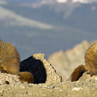 Picture - Marmots on Mount Evans.