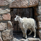 Picture - Mountain goat at Mount Evans.