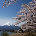 Picture - Cherry blossoms and Fuji-san.