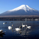 Picture - Swans in front of Mt Fuji.