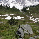 Picture - Paradise Park, Mont Rainier National Park.