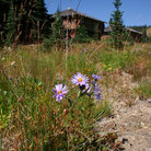 Picture - Wildflowers near a lodge in the Sunrise area of Mount Rainier National Park.