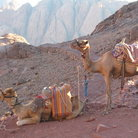 Picture - Camels waiting for weary tourists on Mt. Sinai.