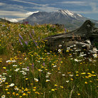 Picture - Wildflowers in front on Mount St Helens.