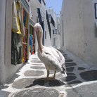 Picture - Pelican on a street in Mykonos.