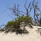 Picture - Vegetation in Jockey's Ridge State Park, Nags Head.