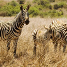 Picture - Family of zebras in Nairobi National Park.