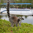 "Picture - Boat cruise gets up close to a lemur on one of the ""islands"" at the Naples Zoo, Naples, FL."