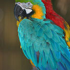 Picture - Blue and gold macaw and Scarlet macaw at Jungle Larry's Caribbean Gardens and Naples Zoo.