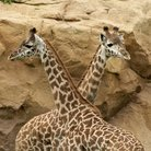 Picture - Two giraffes at the Nashville Zoo at Grassmere.