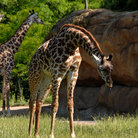 Picture - Giraffes at the Nashville Zoo.