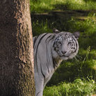 Picture - Siberian Tiger at the Nashville Zoo.