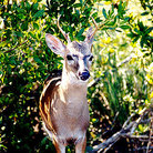 Picture - A key deer in the wild on Big Pine Key.