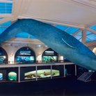 Picture - Head-on view of the whale model in the new Milstein Hall of Ocean Life at the American Museum of Natural History in New York City.