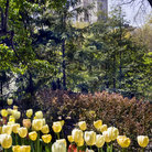 Picture - Tulip Garden in Central Park, New York City.