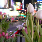 Picture - Tulips and Times Square. New York City.