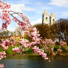 Picture - Spring time at Branch Brook Park in Newark during the Cherry Blossom Festival.