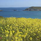 Picture - Field of flowers and the Atlantic Ocean near Newquay.