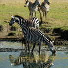 Picture - Common Zebras found in Ngorongoro Park.