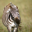 Picture - Common Zebra in Ngorongoro Park.