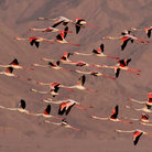 Picture - Flamingos at Ngorongoro Park.