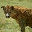 Picture - Spotted Hyena, in the dog family, in Ngorongoro Park.