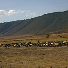 Picture - Herds in Ngorongoro Park.
