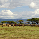 Picture - Masai kraal and animals in the Ngorongoro Conservation Area.