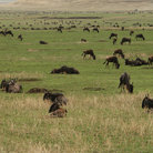 Picture - Wildebeest in Ngorongoro Crater.