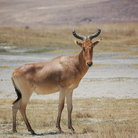 Picture - Gazelle in the Ngorongoro Crater.