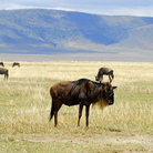 Picture - Wildebeest in the Ngorongoro crater.