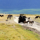 Picture - Zebras and wildebeest crossing a road near a jeep in the Ngorongoro Crater.