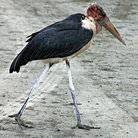 Picture - A marabou in Ngoro-Ngoro National Park.