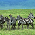 Picture - Zebras in green grass at Ngorongoro.