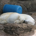 Picture - Polar bear at the North Carolina Zoo in Asheboro.