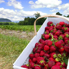 Picture - Freshly picked strawberries in Conway, New Hampshire.