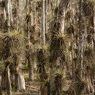 Picture - Cypress trees in the Big Cypress National Preserve.