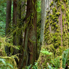 Picture - Dense foliage of the Rain forest on the Olympic Peninsula.