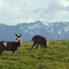 Picture - Mule deer in a pasture by Hurrican Ridge in Olympic National Park.