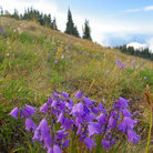 Picture - Mountain meadow near Hurricane Ridge on the Olympic Peninsula in Washington.