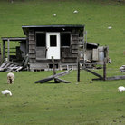 Picture - Farn outbuilding with sheep grazing, Olympic Peninsula, Washington.