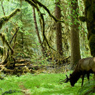 Picture - Roosevelt elk in Olympic National Park.