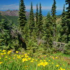 Picture - Yellow daisies in Olympic National Park.
