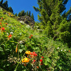 Picture - Wildflowers growing on the mountains side in Olympic National Park.